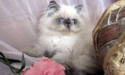 Gorgeous Himalayans, Persians and Exotics short hair kittens in RARE Solid Chocolate, Solid Lilac, Solid Blue, Solid Black, Color points and other colors!! Purebred, registered with CFA, CCA. Kittens are de-wormed and trained to any cat's food (soft/dry),