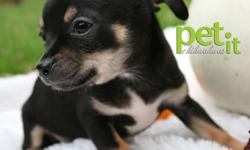 """MUSH chihuahuas health. quality. love. Two adorable puppies are available!  One Male and One Female  Ready to take home today! Puppies are short coats with gorgeous black, and white markings. """"Mummy""""Male short coat black and white approx 5 1/2 -6 lbs"""