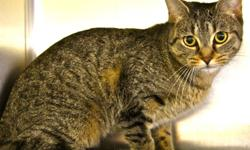 Hi, I'm Pickles! I'm a 2-year-old kitty cat currently living at the Sudbury SPCA. I'm kind of shy, so I'm looking for a family or individual who will be patient with me. Once you win me over, I'll be your friend 'til the end. Won't you take me home? <3