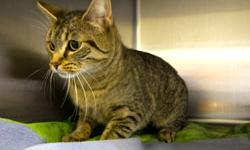 Hi, I'm Pickles! I'm a 2-year-old female cat currently living at the Sudbury SPCA. I'm kind of shy, so I'm looking for a family or individual who will be patient with me. Once you win me over, I'll be your friend 'til the end. Won't you take me home? <3