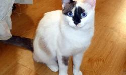 Piper is a unique and beautiful 1 year old girl, a Siamese/Snowshoe mix, mainly white, with Seal Point markings on her face and tail, and gorgeous blue eyes. Piper is very friendly with other cats and good with gentle kids, she is very gentle and