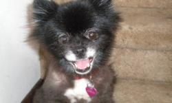 Buttons has been missing since July 2, 2011 from Cypress County west. She has a tatoo YA1359 in her right ear. At the time she was shaved and wearing a  red collar with a Persian Dreams tag on it (purple heart).  She is black with white mussle, chest and