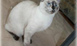 """Squeak is a R.O.A.R. Society Kitten (see description below)   """"Hello, My name is Squeak. I'm a cute little Siamese Cross female. I am fully litter trained, have had my vaccinations, dewormed and will be spayed in November. I would love to come and cuddle"""