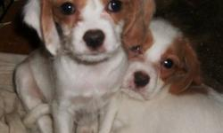 Both of these breeds make a great family pet. Mom is a small Beagle and Dad is a Cavalier King Charles Spaniel. Two males and One female pup ( she is the red and white with one white ear) have their first two shots and are ready to go. They are paper and