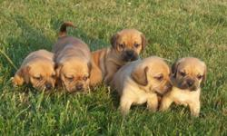 Pocket Puggle Puppies $695 Pocket Puggle puppies ready to go 15-20lbs max at full maturity wonderful small medium size breed Great with children, low shed, vet checked, vaccinated, wormed and advantage on, one rare black and tan two fawn and one red,