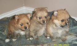 Taking deposits for adorable pomeranian puppies born Dec. 30th.We have 2 females and 1 male. Puppies will be vet checked and first set of shots. Both parents on site.