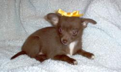 Sweet adorable Cherry Girl are looking for someone to love. Her mom is a chocolate Chihuahua that came to from Alabama and her dad is a chocolate Pomeranian that came from right here in good old Saskatchewan. She are both trained to go outside or use