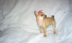 Hailey is looking for her very own home. She has had her first set of shots and a full vet exam. She is puppy pad trained and going out side. She is expected to grow up to be between 4 ½ and 5 pounds, the perfect size to curl up in your lap. She comes