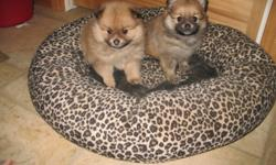 Pomeranian puppies ! they are 5 weeks old . Litter of 4 pups, 1 male, 3 females. 2 sold, 2 left. 2 females left , picture of 2 pups alone are not sold. They will be vaccinated, dewormed,vet certified. They will be ready to go at 8 weeks of age, for there