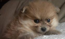 We have fuzzy wuzzy  teddy bear Pomeranian puppies ready now.  They were born Sept 20th, and are UTD on Vaccinations and come dewormed and with Revolution.  A written Health Guarantee is also included. We have both boys and girls in wolf sable and orange