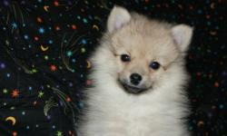 Pomeranian puppies for sale. $500 each.  This puppy is 9 weeks old, has had his first vet check and shots already. He is blond colored like the mother (the father is a sable). He comes from a litter of 4. The puppies were raised in my home and loved to