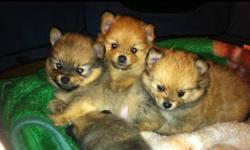I have 7 Pom puppies from 2 litters for sale. 4 females and 3 males. Please call or email to pic your Pom. Ready to go Oct 24 and Nov 8th. I have loads of pics I can email you:) This ad was posted with the Kijiji Classifieds app.Phone # 306 6926111.