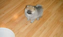 BEAUTIFUL  FULL BLOODED POMERANIAN PUPS MALE AND FEMALES 4 TO CHOOSE FROM  SABLE AND ONE GREY / WHITE.   PUPS COME WITH TWO SETS OF SHOTS AND DEWORMING INTELLIGENT LOVING AND READY TO PLEASE THESE LITTLE GUYS WON'T DISAPPOINT WILL HOLD FOR CHRISTMAS CAN