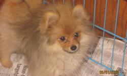 POMERANIAN PUPPIES   Two Orange Females and Two Orange Males.  These beautiful puppies are now 5months old and ready to go to their new homes.  Both parents are CKC reg'd., however, the puppies are not registered.  The puppies have been home-raised and