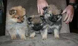 Only 1 Male Pekingese/Pomeranian Puppies left for sale. Have to see him to believe how cute he. 1/4 Pekingese, 3/4 Pomeranian. Come with first shots. He is the larger dark one on the right in these pictures.
