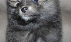 We have 1 Male Pomeranian puppy that is ready for adoption.Born Sept 3 2011.  He is black with a little brown. Both parents are pure Pomeranian but unregistered. Adoption fee will include deworming and vaccinated with first shots. We are looking to place
