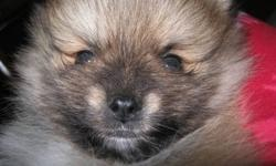 One brown mix male pom, 8 weeks old. PUPPY SOLD.