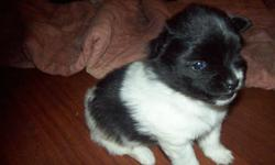 I have 2 beautiful little girls available for sale they will be ready to go by christmas eve they are black and white both parents can be seen mom is black pom and dad is black and white pom will be under 10 lbs full grown email or call if interested