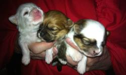 I have 4 male and 1 female puppies.They will be ready to go at the end of January. They will have there first shots and dewormed call 250-617-0346 to view