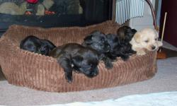 We have 6 beautiful Poodle-Chihuahua puppies for sale.  4 boys and 2 girls, all with wonderful disposition. One male is fawn, one is black and the rest are a black and brown. They love to snuggle up by the fire place or anything warm. If you are