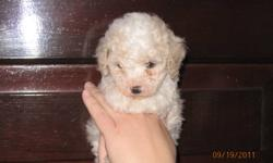 We have 2 poodle X cocker spaniel female puppies (white and black).  They are $300 the vet check, vaccinations and de-worming are included. We have 2 poodle X cocker spaniel female puppies (white and black).  They are $300 the vet check, vaccinations and