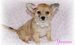 These chihuahua puppies are long coats and are potty trained. Yoshi, Yogi, and Yasmine were born August 10, 2011. Aliyah & Addison were born August 19, 2011. All these puppies are desperately looking for their forever home so they can start bonding to