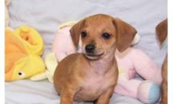Very cute puppies! 3 males and 1 female available, puppies have excellent dispositions. Mom is mini dachshund, and father is our extremely handsome chihuahua. Puppies are very playful but love to cuddle for their afternoon nap. Our puppies come with their