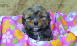 Puppies mother is a shihtzu and father is a yorkie, both are small dogs, with great disposition. Puppies take on mom and dads characteristics, and just like mom and dad will be great family dogs. Pictures 1,2 are my handsome boys of the litter, and 3-5,