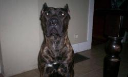 PRESA CANARIO PUPPIES FOR SALE puppies located in Kamloops, BC, we are traveling to Edmonton next week and can deliver at no extra charge. email or call more more info  3 females remaining 1 black brindle and 2 fawn