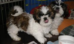 *Healthy & Ready for Loving Homes* Only 2 left (1 female & 1 male) white & chocolate brown - Vet documents - First Vaccinations - Dewormed - Treated with Revolution - Written Health Guarantee Raised in our family home already Socialized with people and
