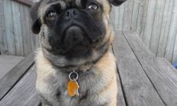Hi we have an adorable pug cross he is great with kids and cats his name is pugsy he is 1yr and a half  we both work and have an older dog that we also care for.he is in need of a family that can spend more time with him shots are up to date.