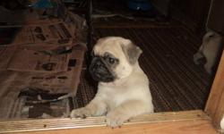 for sale pug puppies ready to go for christmas. vet check and needles .
