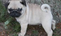 CKC Registered pug puppies Available to pet homes. Vet Checked healthy, first set of vaccines, microchipped, dewclaws removed and dewormed These babies are Beautiful, Healthy and ready for new homes. Sire and Dam are CKC Champions with great pedigrees.