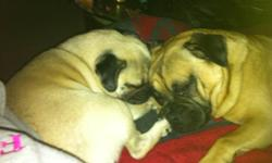 I am pleased to announce my beautiful pug is expecting 5 babies to be born on October 22. They will be ready to go to their forever homes around December 23 2011. I own both the mother Olive who is Pug and the Father Petrie who is 3/4 pug 1/4 jack russel.