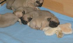 7 Purbread Pug Puppies for sale 500.00 comes with vet check and first shots. Not ready till the second week of November.Serious inquiries only.