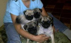 Beautiful, friendly little fawn pug puppies. Raised in the house with other pets, well started on pee pad training and use their pad almost all the time already, very intelligent and sweet. Started on hard puppy food.Will be up to date on