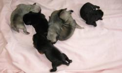 we have 3 black 3 fawn pug puppies will come with first shot an dewormed will be ready just befor xmas mom an dad on site