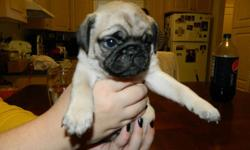 SANTA COULD NOT BRING A BETTER PRESENT THAN A WRINKLED LITTLE PUG PUPPIES, READY JUST IN TIME FOR CHRISTMAS. THESE ADORABLE BUNDLES OF JOY WERE BORN OCTOBER 28TH AND WILL BE READY TO BE UNDER YOUR CHRISTMAS TREE. ALREADY PAPER AND KENNEL TRAINED. 2 MALES