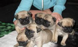 Pug puppy female only one left needs a good home first shots dewormed and full check up...