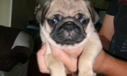 Female pure bred pug puppy for sale, last out of a litter of 7.  She has been vet checked and has her first shots and is ready to go any time now.  She is a sweet and affectionate little one and would make anyone a perfect pet.