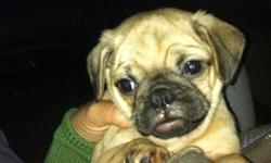 We have 1 beautiful male Pug puppy for sale!!! We are relocating and will not be able to give him the love and attention he needs. 1st shots, dewormed, pad trained and eating solid food. We are including a puppy starter kit and food. Please contact us by