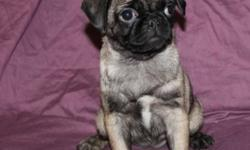 I have 1 Fawn female pup and 3  very light fawn male pug pups, love people, and other dogs, well socialized, have had their 4 way, bordertella and have been dewormed, nails were done Oct 11th, ready for new homes ... delivery or partial delivery may be