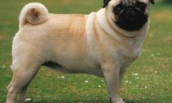 My Husband, me and my 3 year old son are looking for a puppy pug to call our own. We are in no hurray to have one, would like to wait until Jan or later to get one. We have no other pets, and We are willing to pay for a pug, ONLY if full breed! Also we