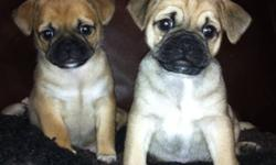 Gorgeous, family raised Pug cross Chihuahua puppies. Have been raised in our home, under foot, with kids and other dogs. Are very outgoing and friendly and already paper trained at 4 weeks!  Have been spoiled since birth!  Dad is PB Pug & Mom is