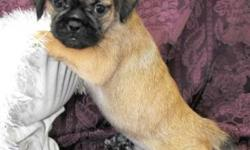 Very cute pug cross shih tzu puppies, there are both female and male puppies These little ones are quite the charmers, and will make anyone a great family pet! Our puppies have gotten their  1st vaccination and we have had them dewormed. Delivery to