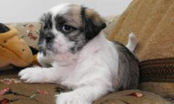 Three beautiful babies ready just before Christmas, delivery available.  There are two females (white & tan) and one male (tricolor). They have a Pug mom and a Shih Tzu dad. Their haircoat is more like the Shih Tzu but won't get quite so long and they