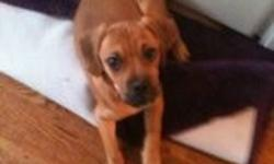 Beautiful 3 month old male puggle for sale. Paper trained and currently being leash trained.  Beautiful, friendly and energetic puppy.  Great to play with and also to cuddle up with.  Gets along with others. Comes with water and food bowls, leash and