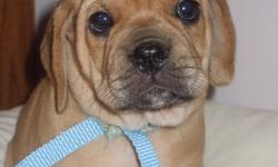 All PUPPIES ARE LITTER TRAINED!!! AWESOME APARTMENT PETS!!   I HAVE 2 GEORGIOUS 1ST GENERATION PUGGLE PUPPIES 1 MALE AND 1 FEMALE THEY WERE BORN AUG 4TH 2011 AND ARE READY FOR THEIR NEW HOMES ASAP! THESE PUPPIES ARE APRICOT IN COLOR AND ARE LITTER