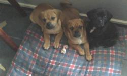 We have 3 healthy, playful male puggle (beagle x pug) puppies ready to go their forever loving homes now. These 3 handsome guys were born to our beautiful tri-coloured beagle mom and black pug dad. They have been de-wormed several times, are current on