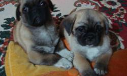 Puginese Puppy available ?Perfect Gift for Thanksgiving? 647 988 3501 Take home a Puginese puppy (Pug/Pekingese hybrid (Puginese), as a perfect gift for your significant other, parent or child. These two breeds portray a combination of excellent qualities
